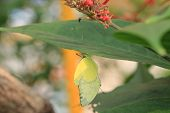 picture of mating  - Lemon Migrant Butterflies mating - JPG