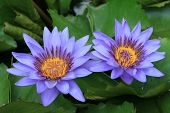 stock photo of water lily  - Water Lily flowers - JPG