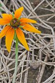 Rudbeckia hirta and litter