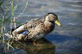 Mallard Duck sitting on rock