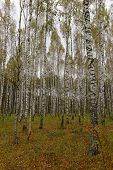 stock photo of birchwood  - Birchwood in a midland of Russia in the fall - JPG