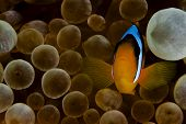 pic of clown fish  - anemone fish aka clown fish in red sea - JPG