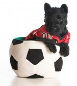 foto of scottish terrier  - sports hound  - JPG