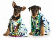 two female airedale terrier puppies wearing matching dresses sitting on white background