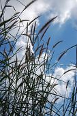 Reeds With Blue Sky.