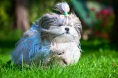 Shih tzu dog running in garden.