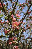 Chinese Flowering Apple Blooming In The Spring
