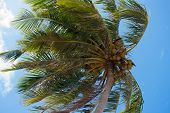 picture of wind blown  - Coconut tree Blown by the wind on blue sky - JPG