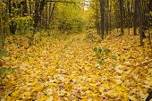 alley strewn with yellow autumn leaves lining the trees in the forest