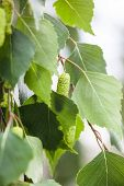 Green Leaves And Catkins Of The Birch Tree