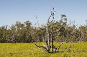 Dry Tree In The Everglades