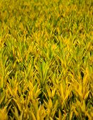 picture of crotons  - Fields of yellow  Croton plant nature background - JPG