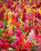 stock photo of cockscomb  - Colorful cockscomb Flowers in a garden vertical format - JPG