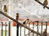 Sparrow Flock On Branch In The City