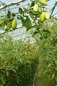 picture of oblong  - Oblong green unripe tomatoes cluster hanging in hothouse on the background of rows with ripening tomatoes - JPG