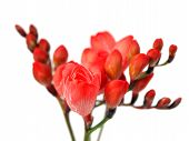 stock photo of flower arrangement  - Red freesia flowers on the white background - JPG