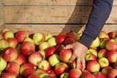 pic of crate  - Hand puts an apple in a wooden crate of freshly picked apples - JPG