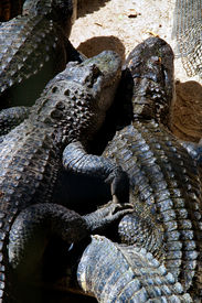 foto of gator  - Looking down on two american alligators appearing to be snuggling laying in the sunshine with other gators - JPG