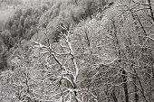 Trees in the frost on mountainside.