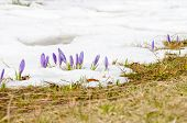 stock photo of saffron  - saffron crocus first spring flower on melting snow - JPG