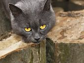Gray Cat With Sad Eyes