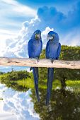 Blue Macaw in Pantanal, Brazil