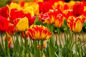 Red and yellow tulips in the sun