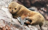 stock photo of sea lion  - Sea lion cub sleeping on a rocky shore