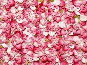 Paper Rose Petals Background