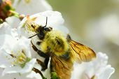 pic of bumble bee  - Bumble Bee Bumblebee drinking nectar from White Flowers - JPG