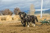 Shire Horses And Plow