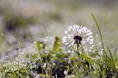 Blur Dewy Dandelion Head With Seeds On Grass