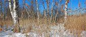 Moor Landscape With Birch Trees In Winter