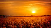picture of rape  - Golden sunset landscape over yellow rape field - JPG