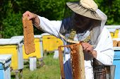 picture of larva  - Experienced senior apiarist cutting out piece of larva honeycomb in apiary in the springtime - JPG