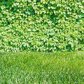 pic of ivy  - Ivy covering the wall with lawn in the foreground - JPG