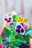 pic of flower pot  - Pansy flower in a flower pot Purple and yellow flowers in pots. ** Note: Shallow depth of field - JPG