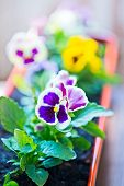 image of flower pot  - Pansy flower in a flower pot Purple and yellow flowers in pots. ** Note: Shallow depth of field - JPG