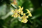 pic of yellow orchid  - Yellow Orchid flowers in tropical garden. Close up
