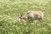 picture of antelope horn  - male saiga antelope grazing in the steppe - JPG