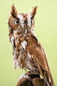 picture of screech-owl  - Portrait of an Eastern Screech Owl . Found wherever trees are and they