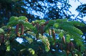 picture of blue spruce  - branch of blue spruce with young buds close - JPG