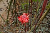 picture of torches  - Red Torch ginger flower in the garden in Martinique - JPG