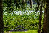 picture of water lily  - A Beautiful Lake of Yellow Lotus  - JPG