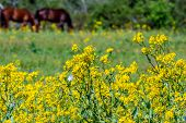 picture of texas star  - A Beautiful Field of Bright Yellow Texas Wildflowers with Horses Grazing - JPG