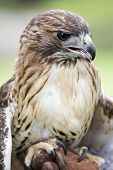 stock photo of tail  - Red-tailed Hawk portrait. The most common hawk in North America. You