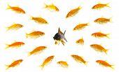 stock photo of goldfish  - black goldfish surrounded by orange goldfishes isolated on a white background - JPG