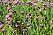 picture of chive  - A macro photography of Chives flowers in a field - JPG