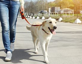 picture of labrador  - Owner and labrador retriever dog walking in the city - JPG