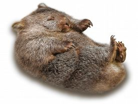 picture of wombat  - Sweet and tender wombat in marsupial position  - JPG